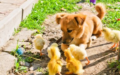 Can You Trust Your Dog With Chickens?